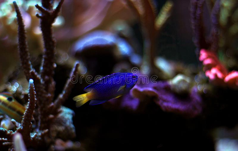 Fiji blåttDamselfish - Chrysiptera taupou arkivbild