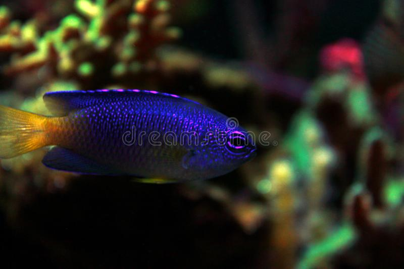 Fiji blåttDamselfish - Chrysiptera taupou royaltyfri bild