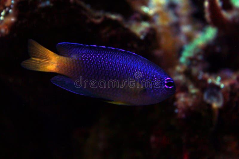 Fiji blåttDamselfish - Chrysiptera taupou arkivfoto