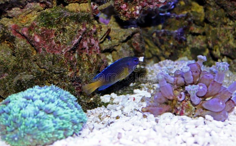 Fiji blåttDamselfish - Chrysiptera taupou arkivbilder