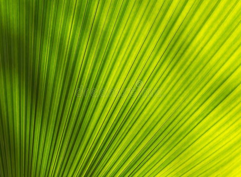Fiji fan palmy urlop z piękną teksturą zdjęcie stock