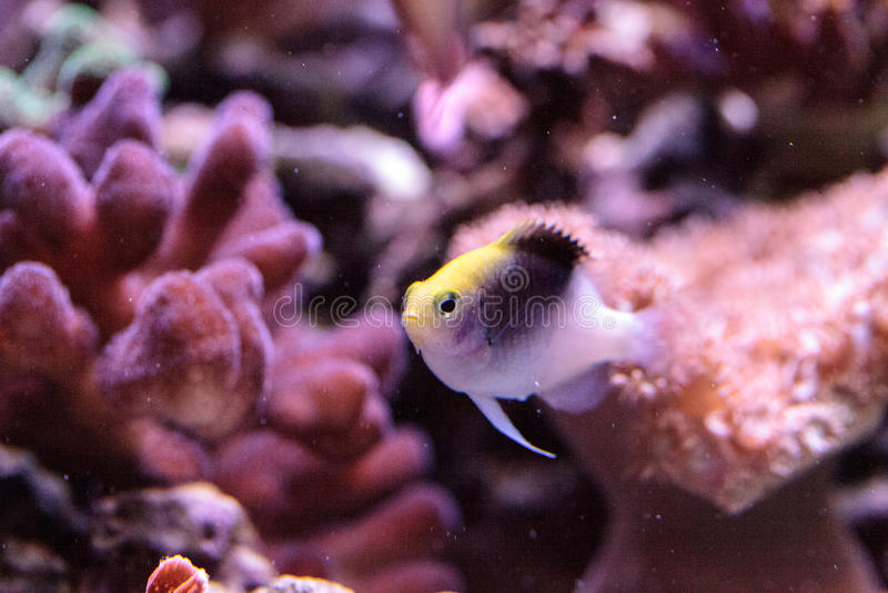 Fiji Yellow Head damsel Chrysiptera rollandi. On a coral reef stock images