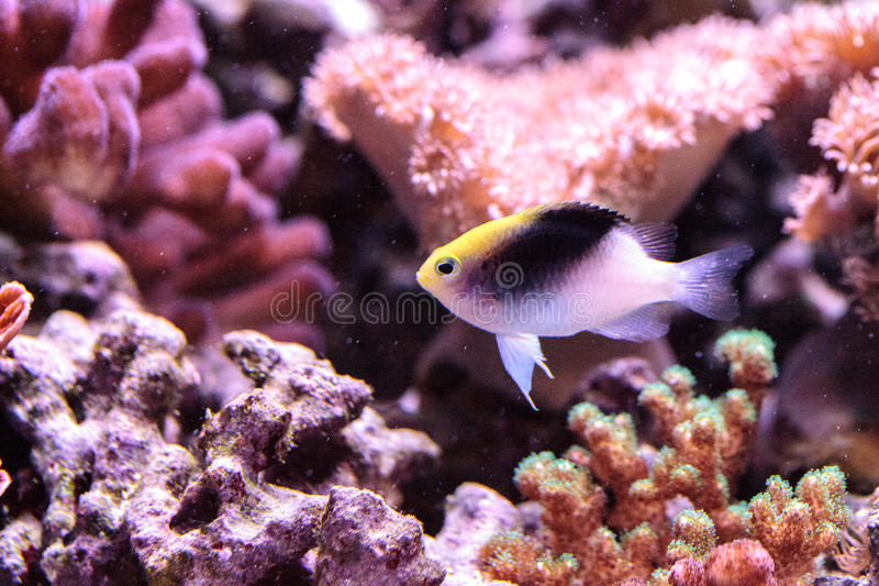 Fiji Yellow Head damsel Chrysiptera rollandi. On a coral reef stock photography
