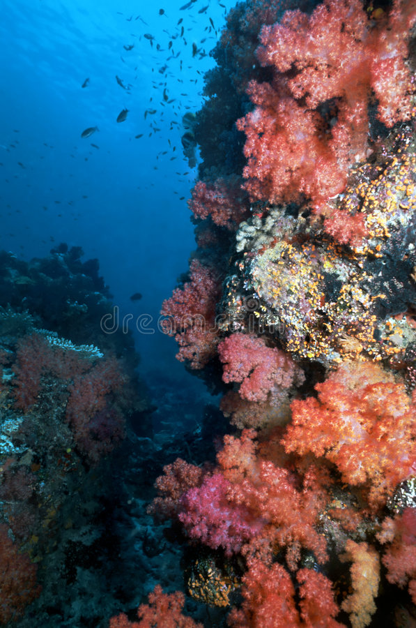 Fijian Soft Corals royalty free stock image