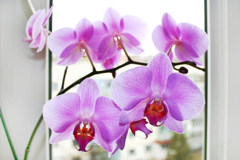 Fijne tak van de tot bloei komende roze orchidee stock fotografie