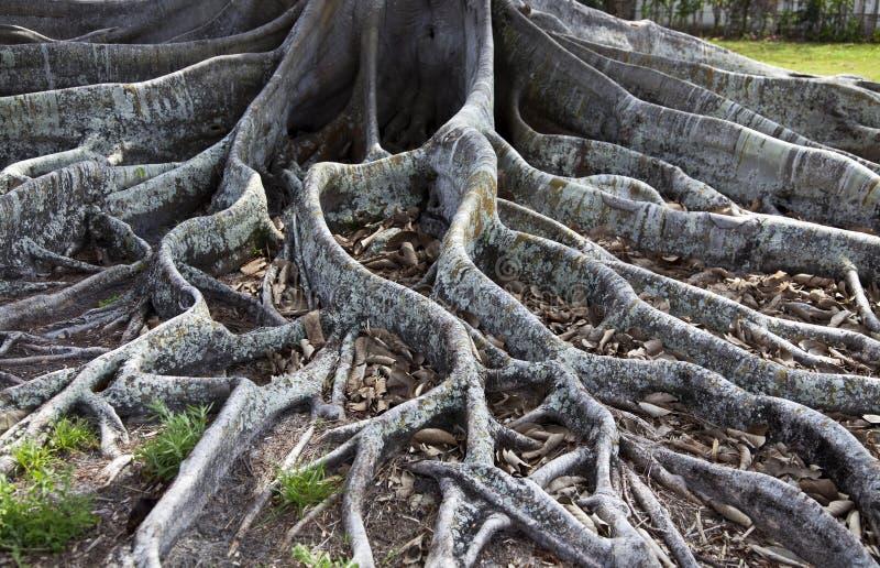 Fikonträdet rotar royaltyfria foton