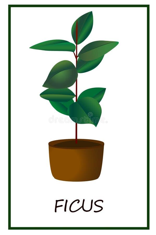 Fikus blomma i en kruka, växt i en kruka, evergreen, inomhus blomma royaltyfri illustrationer