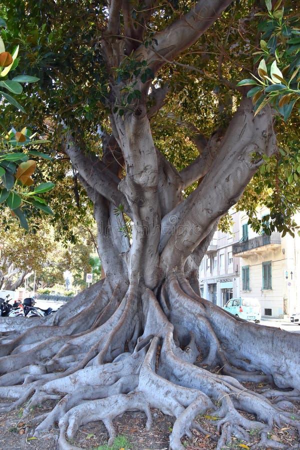 Fikusmacrophylla på strandpromenaden i Reggio Calabria royaltyfria bilder