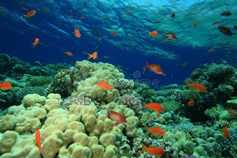 Filón coralino colorido fotografía de archivo