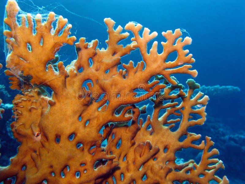 Filón coralino con el coral del fuego foto de archivo
