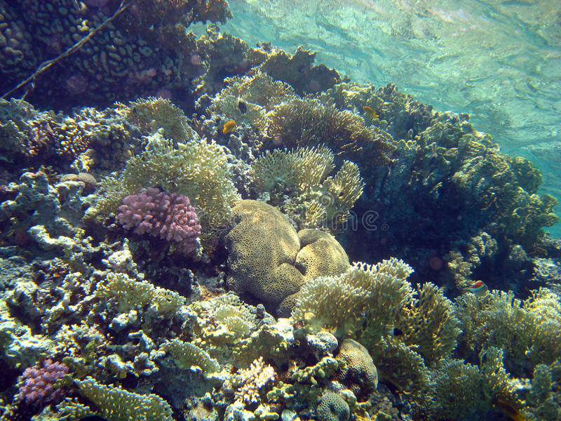 Filón coralino con el coral del fuego, Mar Rojo, Egipto foto de archivo libre de regalías