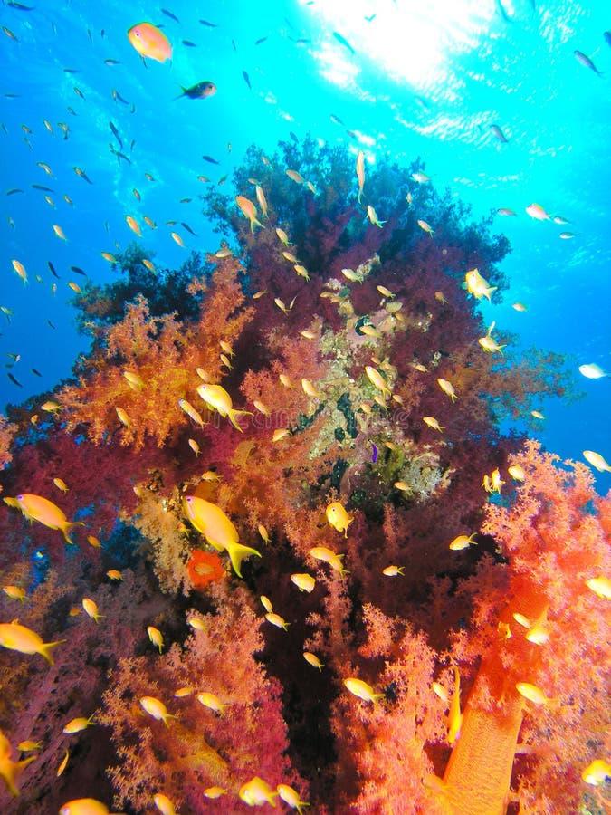 Filón coralino del Mar Rojo fotografía de archivo