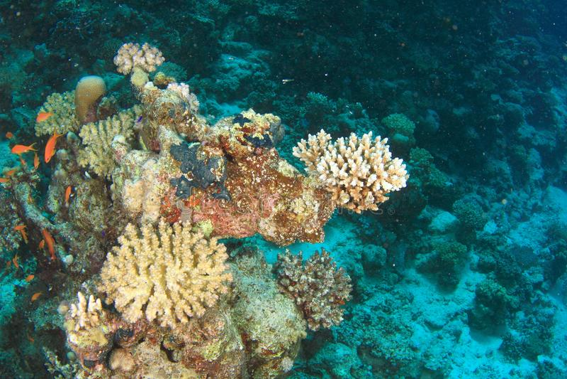 Filón coralino en el Mar Rojo fotos de archivo libres de regalías