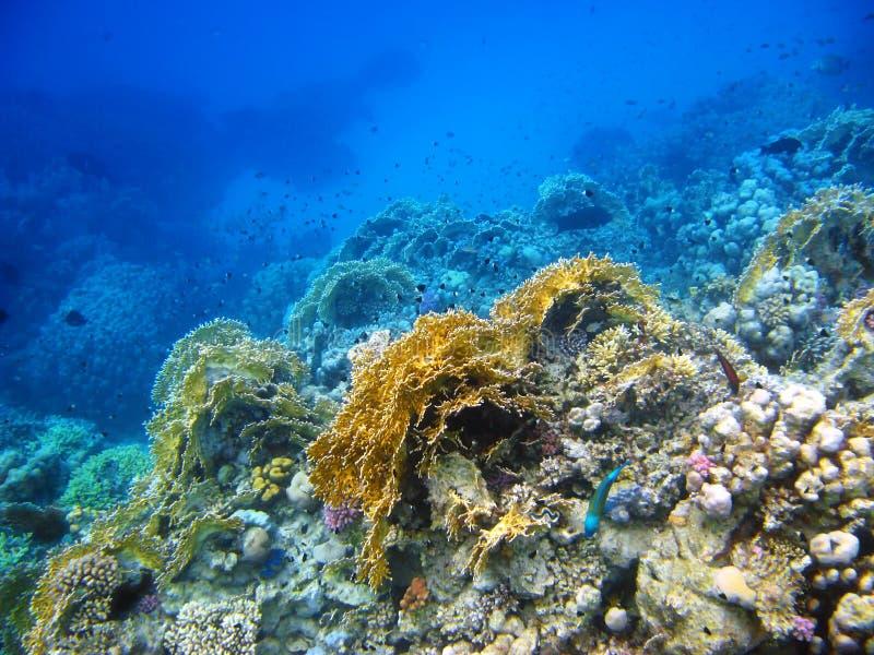 Filón coralino en el Mar Rojo, Abu Dabab foto de archivo