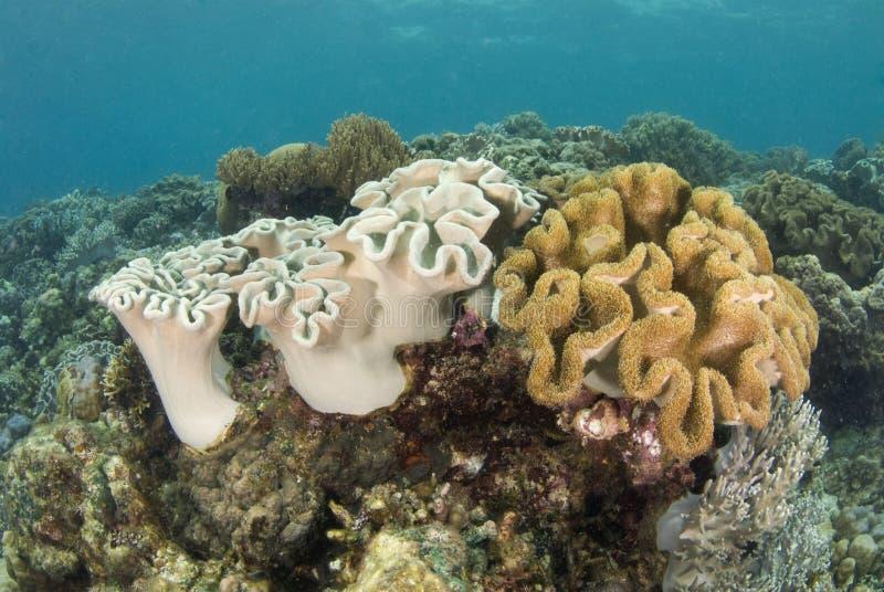Filón coralino filipino foto de archivo