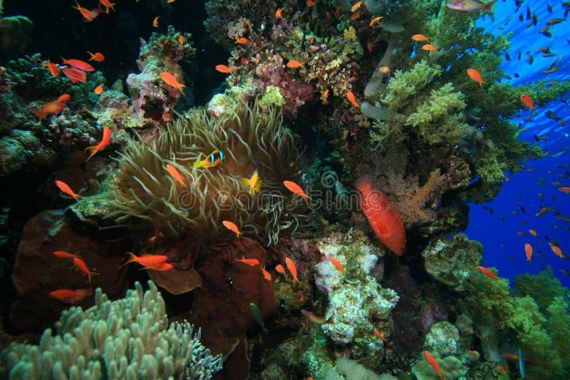 Filón coralino tropical sano foto de archivo libre de regalías