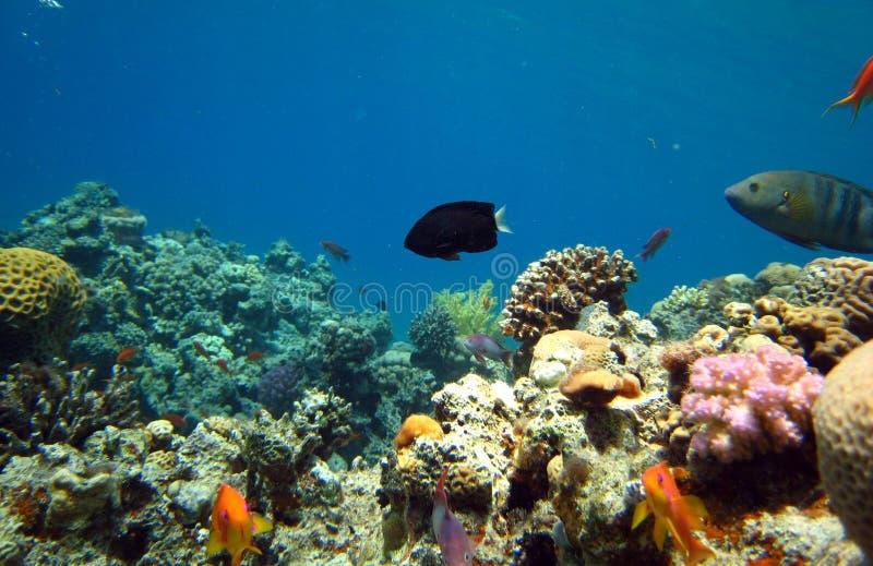 Filón coralino y pescados tropicales fotografía de archivo