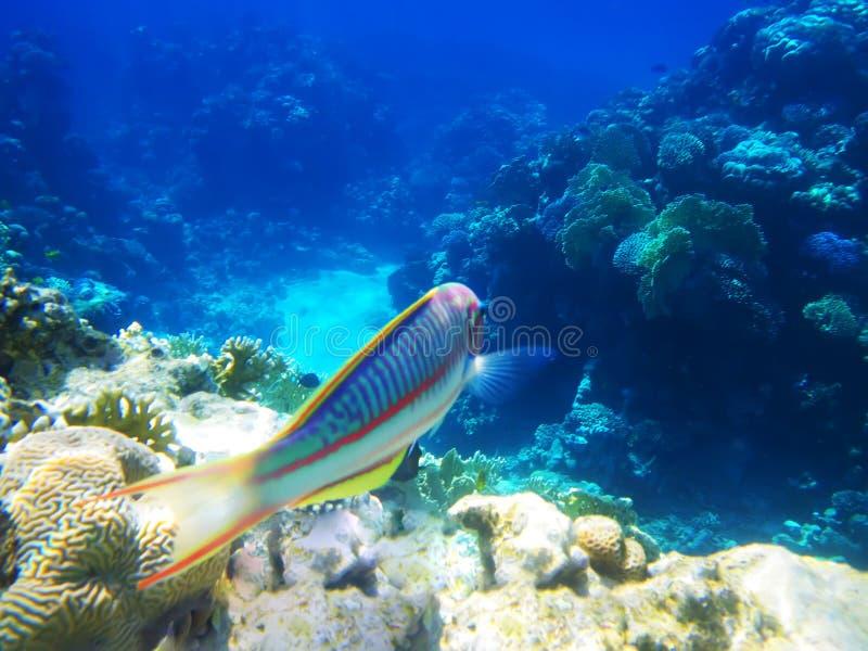 filón del Duro-coral en el Mar Rojo foto de archivo libre de regalías