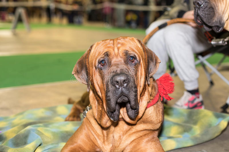 Fila Brasileiro big dog portrait. At the exhibition stock image