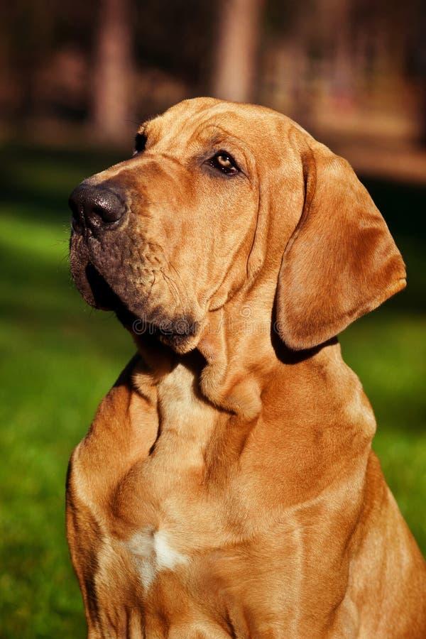 Fila Brasileiro puppy portrait. Fila Brasileiro Brazilian Mastiff puppy portrait stock images