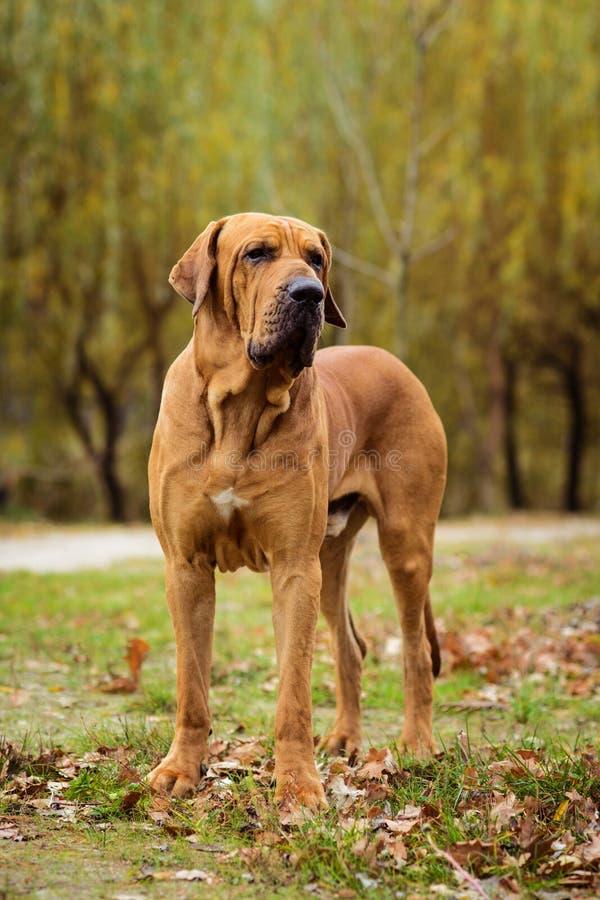 Fila Brasileiro dog portrait, autumn scene. Adult Fila Brasileiro Brazilian Mastiff dog portrait, autumn scene stock images