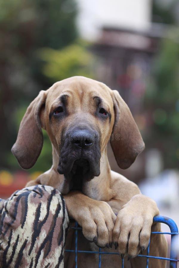 Fila brasileiro portrait. Standing fila brasileiro puppy that is holding to the fence stock images