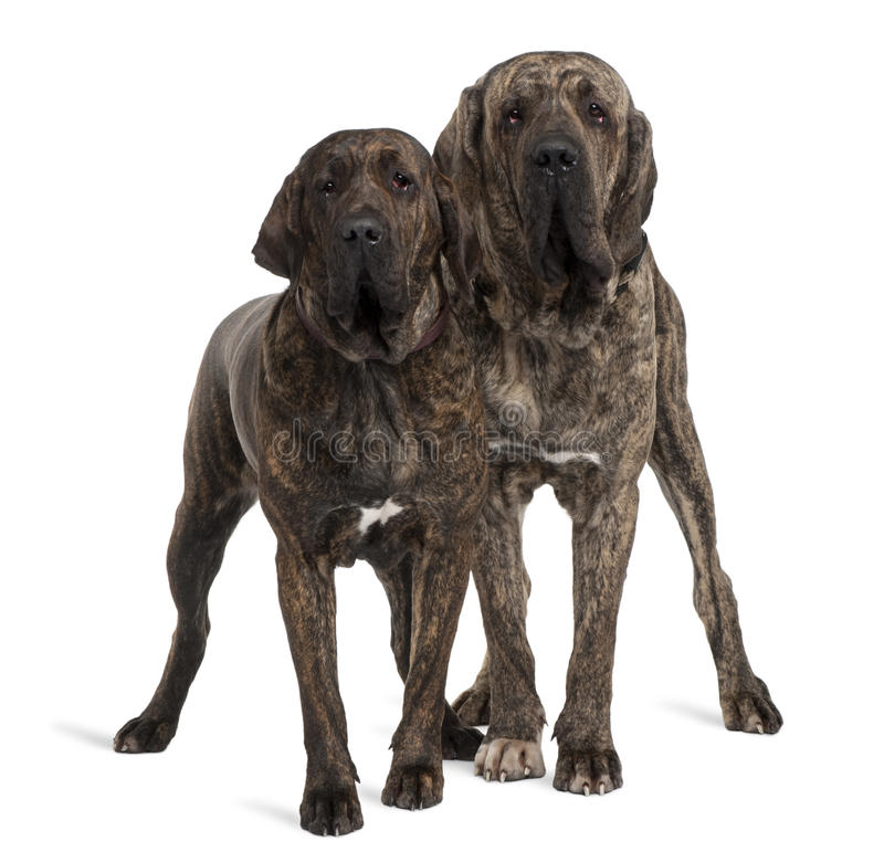 Fila braziliero or Brazilian Mastiffs, standing. Fila braziliero or Brazilian Mastiffs, 18 months old, standing in front of white background royalty free stock photos