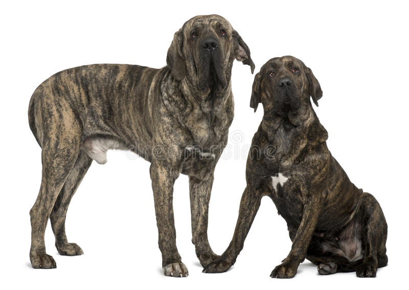 Fila braziliero or Brazilian Mastiffs, standing. Fila braziliero or Brazilian Mastiffs, 18 months old, standing in front of white background stock photography