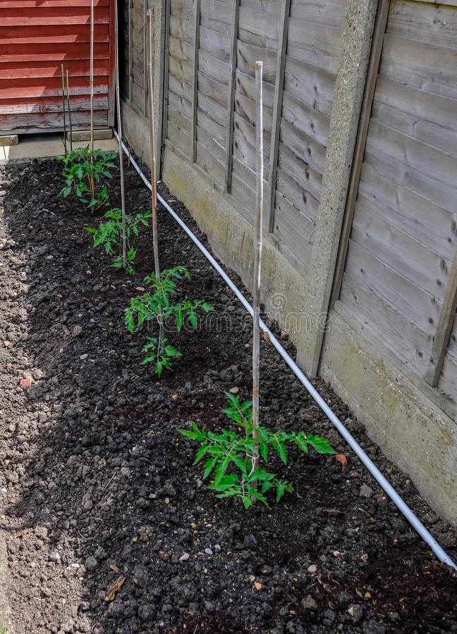 Fila de cuatro plantas de tomate del almácigo en el suelo y atadas a los bastones de bambú fotos de archivo