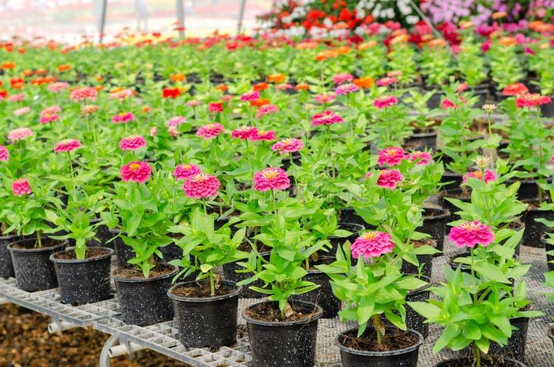 Fila de la flor rosada del Zinnia en maceta fotos de archivo