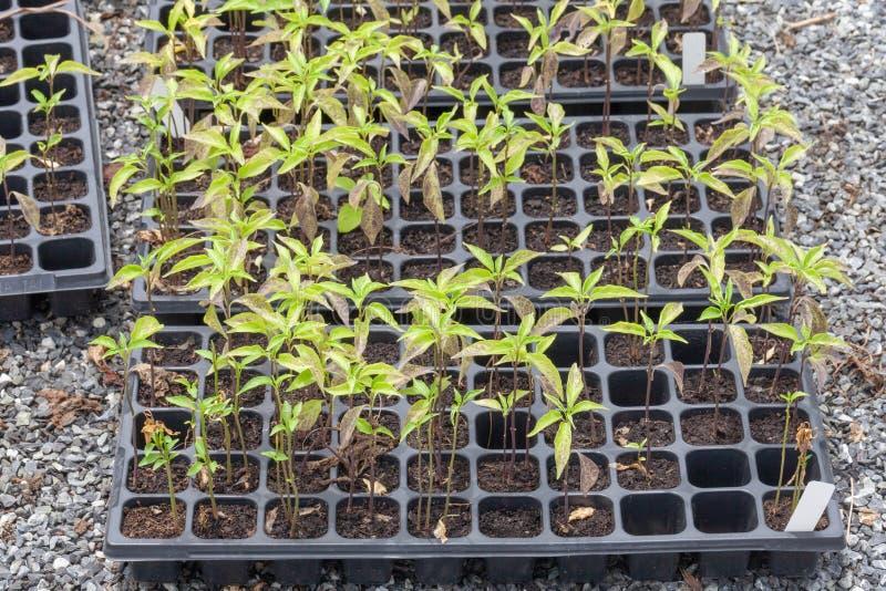 Fila de la planta sembrada joven imagen de archivo libre de regalías