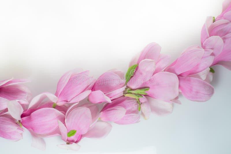Fila de las flores de la magnolia en un tablero blanco imagen de archivo libre de regalías