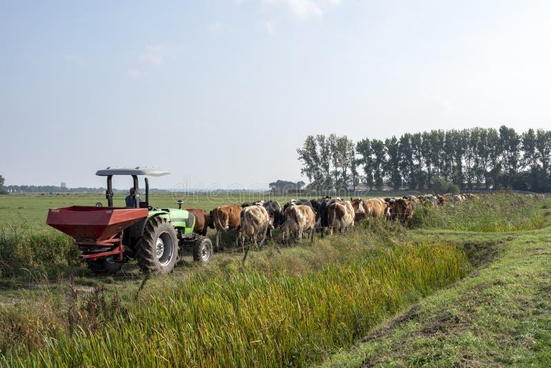 Fila de las vacas que van a ser ordeñado, impulsiones del tractor detrás de caminar de las vacas imagen de archivo
