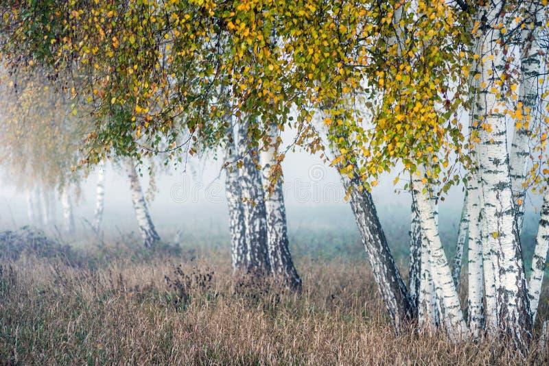 Fila de los árboles de abedul con las hojas amarillas en la niebla imagenes de archivo