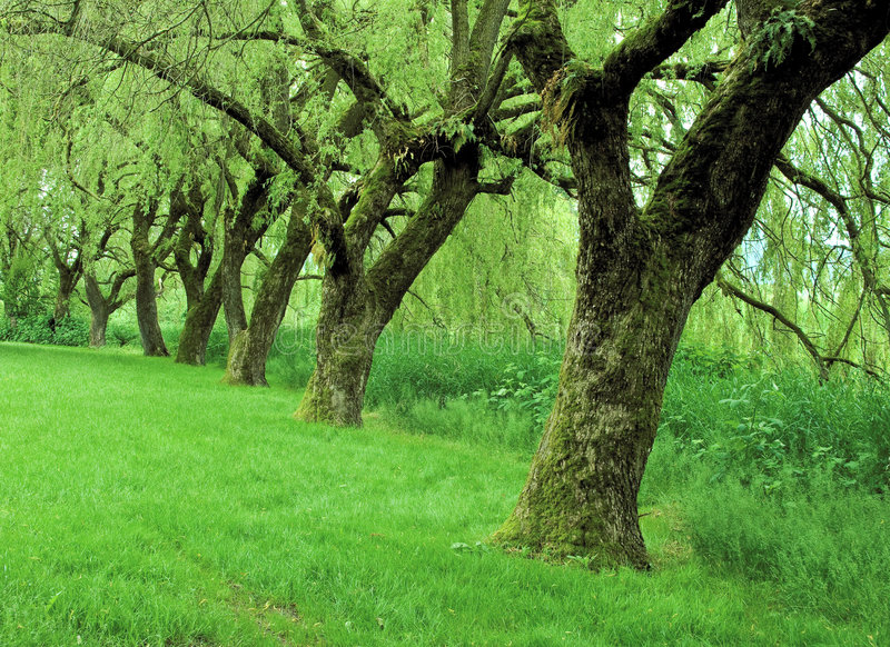 Fila de los árboles de sauce imágenes de archivo libres de regalías