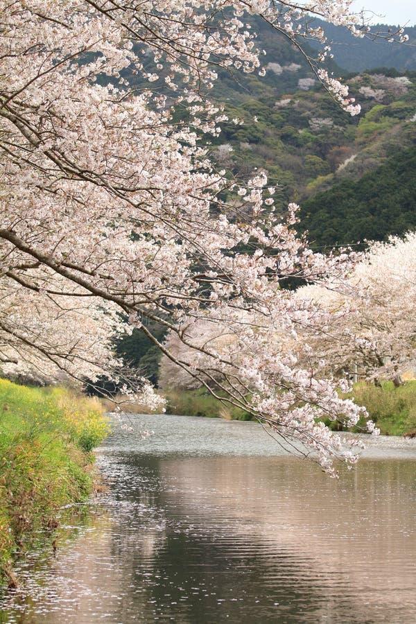 Fila de los árboles de la flor de cerezo a lo largo del riverbank del río de Naka imagen de archivo