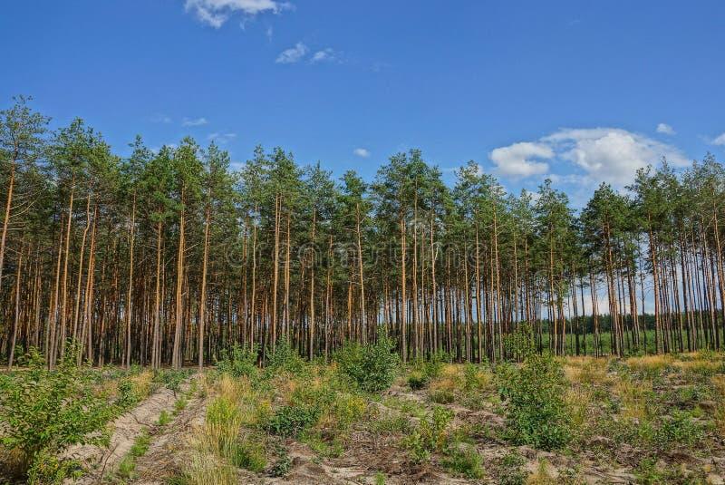 Fila de los árboles de pino coníferos verdes altos en el borde del bosque contra el cielo foto de archivo libre de regalías