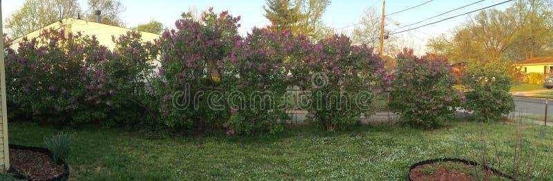 Fila de los arbustos de lila fotos de archivo