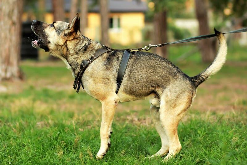 Fila de los perros de pastor alemán en los correos al lado de sus dueños en la exposición del ` s del perro que miran el perro fo foto de archivo