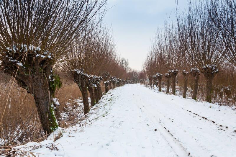 Fila de los sauces del árbol descopado en un área nevosa fotografía de archivo