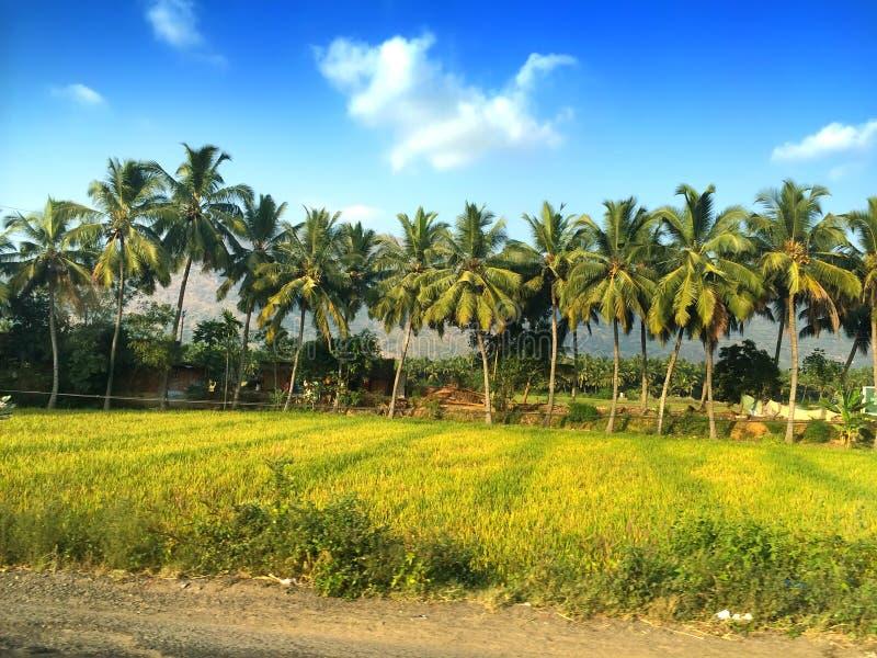Fila de palmeras en el camino foto de archivo libre de regalías
