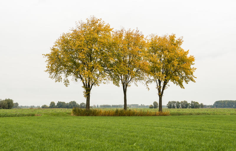 Fila de tres árboles con las hojas amarillas foto de archivo