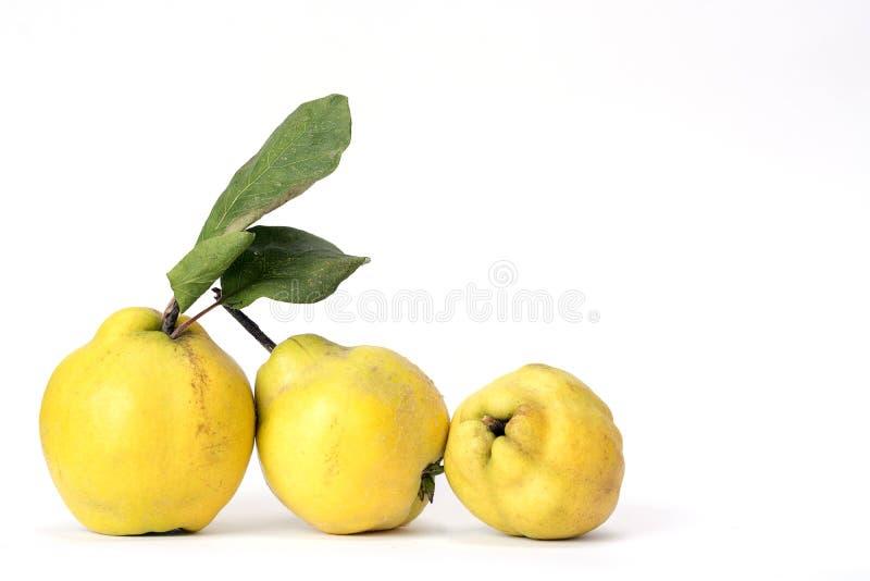 Fila de tres membrillos, de una vieja y tradicional clase de fruta, similar a las manzanas y a las peras fotos de archivo