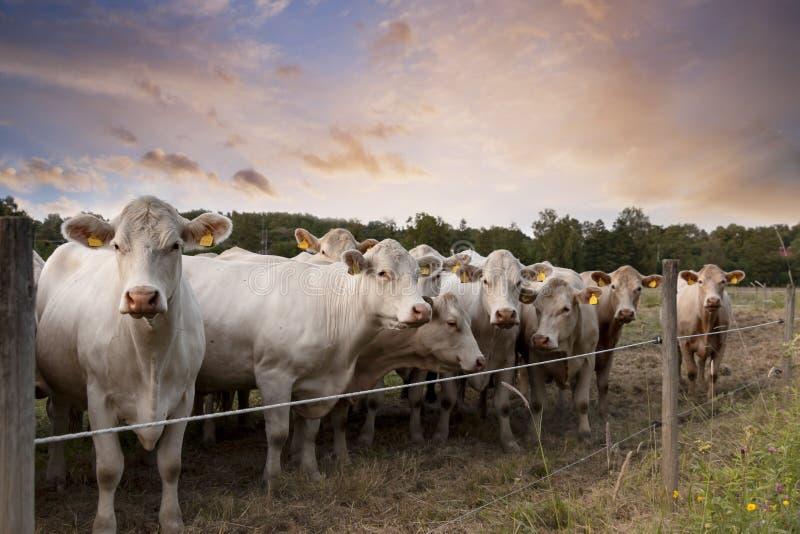 Fila de vacas fotos de archivo