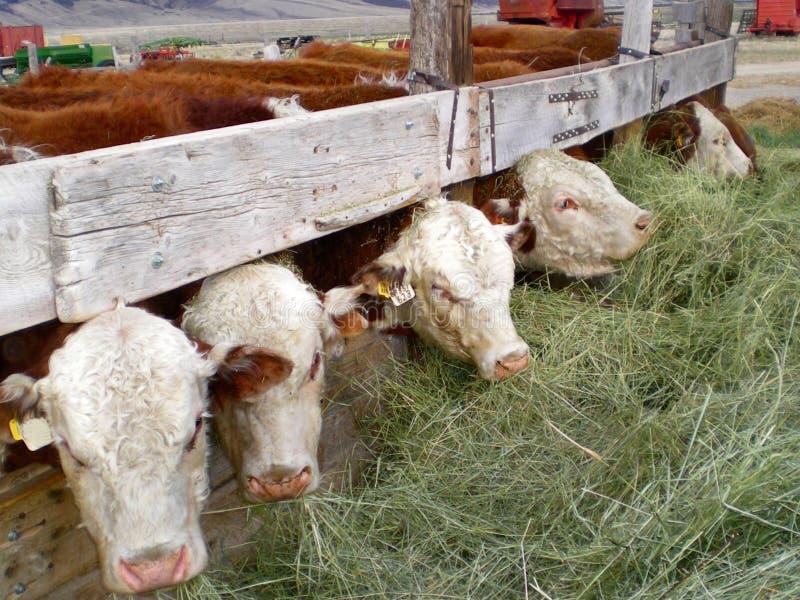 Fila de vacas que introducen imagenes de archivo