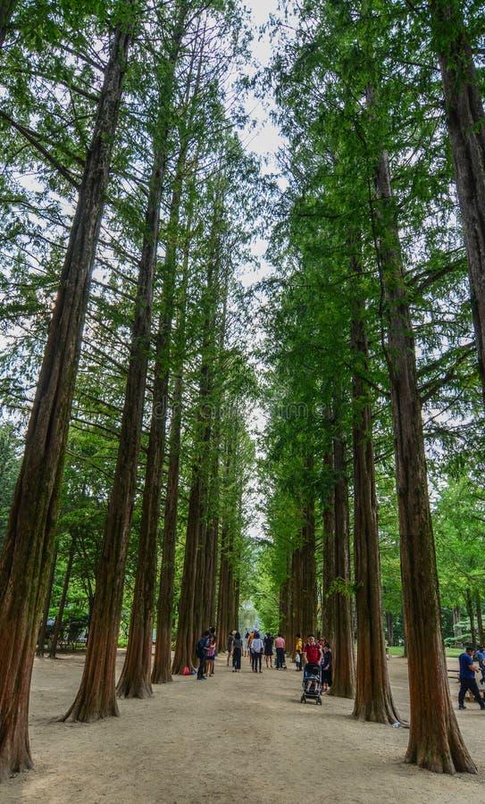 Fila degli alberi verdi del ginkgo nel parco fotografia stock libera da diritti