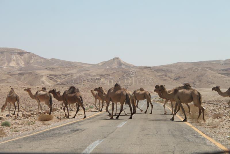 Fila dei cammelli che attraversano la strada del deserto fotografia stock