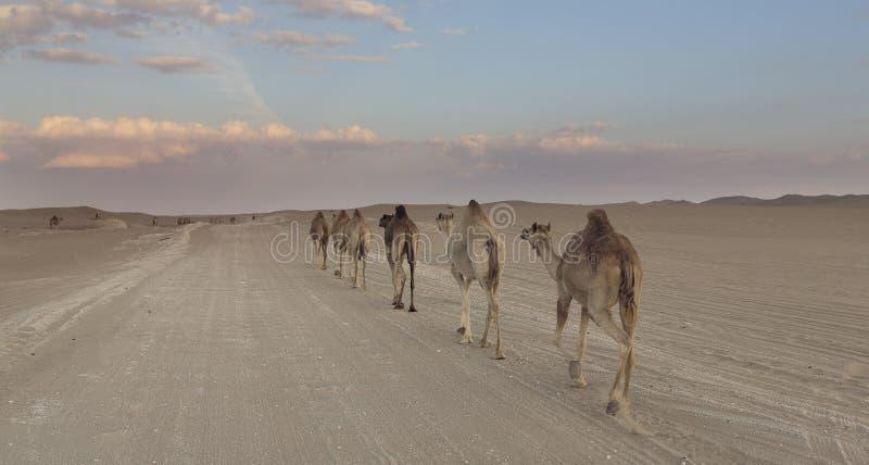 Fila dei cammelli che camminano su una strada al tramonto nel deserto fotografie stock libere da diritti