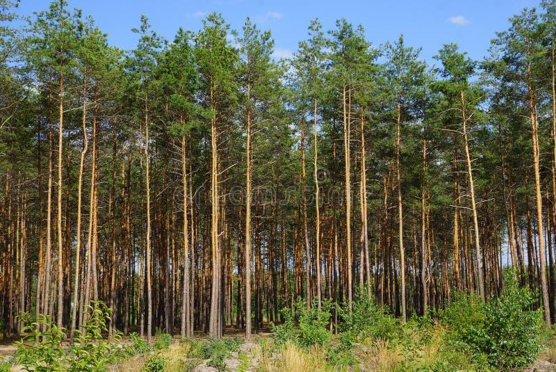 Fila dei pini coniferi verdi alti al bordo della foresta contro il cielo fotografie stock libere da diritti