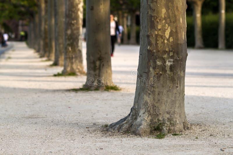 Fila dei tronchi di albero lungo la via Fila del tronco di albero della pianta fotografie stock